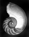 Edward Weston Chambered Nautilus – halved. 1927