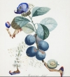A watercolor from Salvador Dali's fruit series.