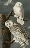 John James Audubon, Owl, Longmont Museum & Cultural Center